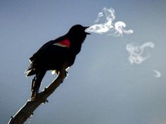 still alive but a very cool photo.....man it must be cold!  Looks like his spirit escaping bondage. Red Wing Blackbird, Blackbird Singing, Smoke Rings, Animal Pictures, Animal Fun, Cute Animals, Funny Animals, Forced Perspective Photography, Nature Photography