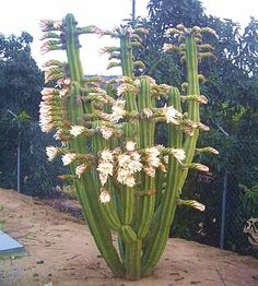 San Pedro Cactus in Bloom This world is really awesome. The woman who make our chocolate think you're awesome, too. Please consider ordering some Peruvian Chocolate today! Fast shipping! http://www.amazon.com/gp/product/B00725K254