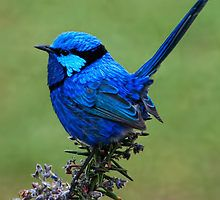 Splendid Fairy Wren by Andy and Von Quinn