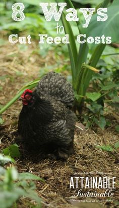 """There's no need to subscribe to the idea of a """"perfect"""" diet for your hens. Save some cash!"""