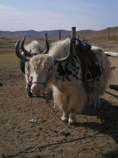 Yaks in Gorkhi - Terelj National Park.
