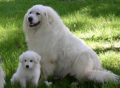 Great Pyrenees - Probably going to be a birthday present for Jocelyn.
