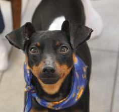 Brady is an #adoptable #MiniaturePinscher Dog in #Mchenry, #ILLINOIS. Brady is a 3 year old Miniature Pinscher.  He is a very loving dog & is great with other dogs, cats, and people.  He's 10 lbs, has a docked...