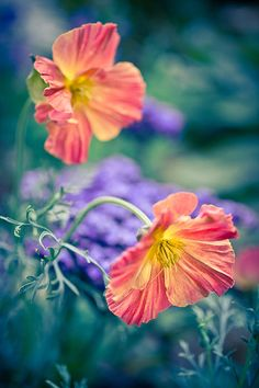 Nodding Poppies fine art photographic print for sale by Priya Ghose - Ruffled like a twirling dancer's skirt, the blooms on this California Poppy nod under the weight of their crinkled petals.   Taken in my garden. Flowers featured: Eschscholzia californica Apricot Chiffon, and a purple Heliotrope I grew from seed peeks out from the background