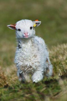 Baby Lamb enjoying life. pic.twitter.com/YmsxtCCtPD