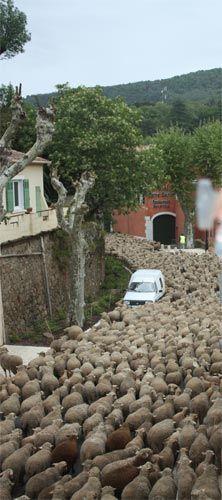 collobrieres traversé par un Troupeau de moutons mai 2010 laurent jartoux