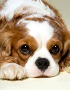King Charles Cavalier I want this breed of dog when I get a new dog