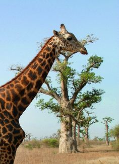 Giraffe at Bandia Reserve near Saly in Senegal