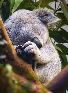 For the longest time I wanted a Koala a pet, after seeing one latch onto a human like a baby. Straight up hug.