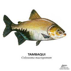 Fish Drawings, Animal Drawings, Beautiful Fish, Animals Beautiful, River Drawing, Scientific Drawing, River Monsters, Fish Logo, Fish Illustration