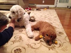 Teddy Standard F1 Goldendoodle and new little brother, Murphy, a Standard F1B Goldendoodle.