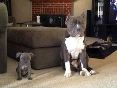 Awww their little pitty faces LOL ~ pitbullpersonalchecks.com