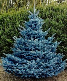 'BLUE DIAMOND' SPRUCE (Picea pungens 'Blue Diamond'):  This new variety originated in Deurne, The Netherlands in 1990 from a hybridization between the female parent, Picea pungens 'Glauca' (unpatented) and the male parent, an unknown Picea pungens.  Regular pyramidal shape;  intense blue-coloured foliage; grown from cuttings.  Height: 66 cm is reached after 6 years, 125 cm is reached after 12 years.  Width: 56 cm in 6 years, 90 cm in 12 years;  Growth rate: 15 cm per year.  - Maréchal