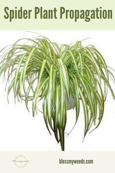 House Plant Care, House Plants, Spider Plant Propagation, Houseplants Safe For Cats, Feng Shui Plants, Pineapple Planting, Fertilizer For Plants, Plant Guide, Spider Plants