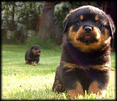 Rottweiler...oh the cutest thing