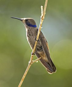 Chillón Pardo, Brown Violetear (Colibri delphinae) 15 by jjarango, via Flickr