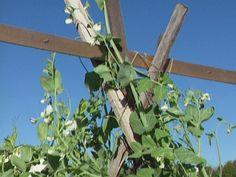 39 Best DIY Garden Trellis Ideas To Consider[Listicles] Pea Trellis, Arch Trellis, Bamboo Trellis, Garden Trellis, Trellis Ideas, Building A Trellis, Growing Peas, Garden Crafts For Kids, Garden Plants Vegetable