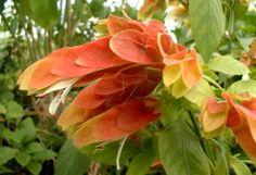 Flores ornamentales: Beloperone (Beloperone guttata)