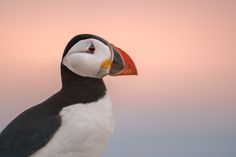 Photo Puffin Sunset by George Wheelhouse on 500px