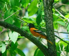 Northern  (Baltimore?) Oriole just hanging out. #nwf #BackyardHabitat #StarWoods
