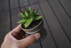 . . . . . . . . . . . . . . . . . #agave #agaveloves #plants #succulents #flower #garden #green #flowers #dryflower #cactus #caudex #botanical #fashion #rock #la #california #sandiego #vitage #antique #アガベ #サボテン#多肉植物 #観葉植物 #ガーデン #ドライフラワー #ファッション #ロック #ボタニカル #アガベの山 #芽の巣山