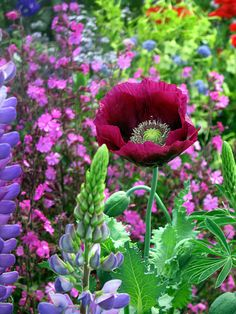 Papaver 'Lauren's Grape' – Papaver is a genus of 70–100 species of frost-tolerant annuals, biennials, and perennials native to temperate and cold regions of Eurasia, Africa and North America. It is the type genus of the poppy family,