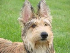 berger picard dog photo | Berger Picard Information, Pictures of Berger Picards | Dogster