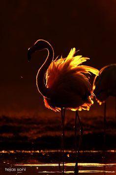 greater flames - greaterflamingo ,gujarat,india