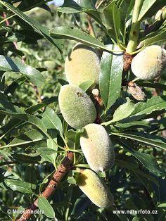 Sweet almond tree (Prunus dulcis)