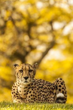 Cheetah - The Poser by Santosh Dhanshetti