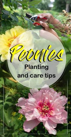 Peonies, How to grow peony flower in containers, Growing Peonies, Peony care. The best time for planting Peonies is Spring or Summer. Garden Shrubs, Garden Plants, Indoor Plants, Peony Care, Growing Peonies, Growing Flowers, Beautiful Flowers Garden, Exotic Flowers, Purple Flowers