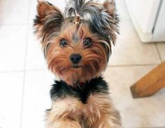 Terrys Yorkies Growth Chart Compare your puppies weight to