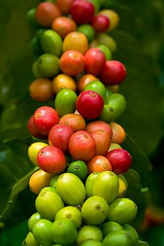 Kona coffee cherries, Kona Coast, Big Island, Hawaii