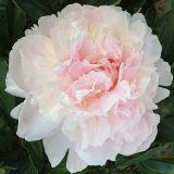 Hollingsworth Peonies - Growing Peonies in the Deep South Revisted
