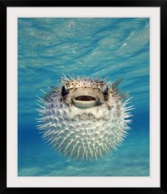 Photographic Print with Black Frame entitled Puffer Fish Bahamas