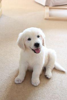 Golden retriever 10 week old puppy