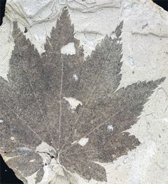 Plant Fossils In Rocks