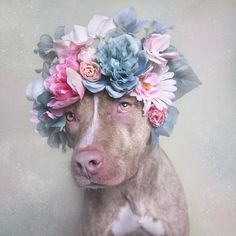 The softer side of pit bulls