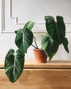 Types Of Large Indoor Plants . Types Of Large Indoor Plants . 8028 Best Plant Inspiration Images In 2020 Cool Plants, Green Plants, Tropical Plants, Unique Plants, House Plants Decor, Plant Decor, Ficus, Deco Cactus, Cactus Art