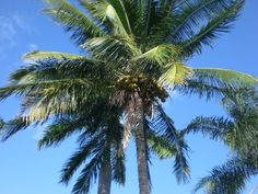palm trees. my symbol of tranquility and accomplishment.