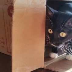 ... pssssst kitties over here ...take shelter in the nearest box ... don't ask why ... just do it ... you must always hide from Monday ... hurry #sophiahidingfrommonday  #rescuecats #adoptdontshop #myrescuecat #thecatdaddy #rescuekittens #tortiekitten #muttkitten #tabbykitten #tuxedocats #tabbycats #tabbyworlddomination #orangetabby #catsintuxedos #blackwhitecats #catswithmittens #cats #cat #buzzfeedanimals #neko #instakitty by max_maxthecat