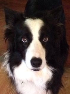 """#Lostdog 6-20-14 #Christiana #BellBuckle #TN #BorderCollie """"Butter Bean"""" 13 year old  Black & White Escaped during storm Collar & tags Lynch Hill Rd LAURI B JONES HELP ME HOME LOST AND FOUND PETS OF MIDDLE TENNESSEE https://m.facebook.com/story.php?story_fbid=542037252567752&id=349733008464845"""