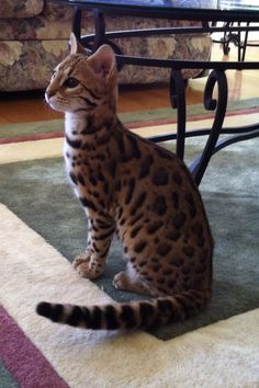 Bengal Cat- these are amazing cats!  every cat lover should have one!  Very intelligent!