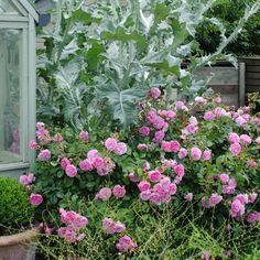 Harlow Carr - English Rose Shrubs - English roses - bred by David Austin
