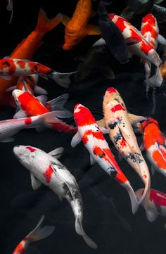 Beautiful koi swimming in the water of Kokoen Garden, Himeji, Japan.