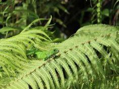 Lagarto verde caminando sobre las hojas