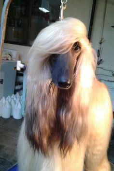 These dogs are the face of elegance. Their long, silky fur and intelligent expressions give these dogs their unique look.