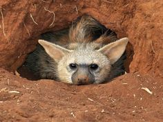 Aardwolf (Proteles cristata) – Our Wild World