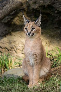Crazy Cats, Big Cats, Cool Cats, Caracal Kittens, Cats And Kittens, Siamese Kittens, Serval, Beautiful Cats, Animals Beautiful