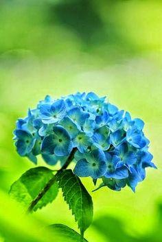 Blue Hydrangeas ✿⊱╮